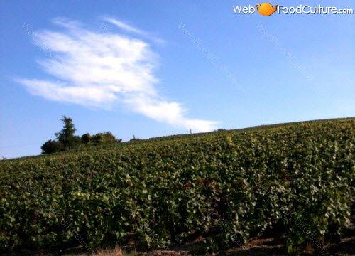 Champagne wine: Champagne landscape (8)