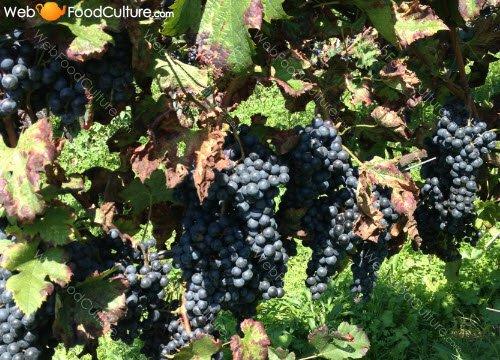 Champagne wine: Grapes.