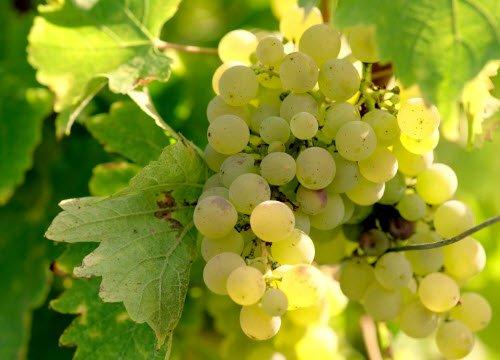 Wine Masters: L'oro dell'uva (crt-01)