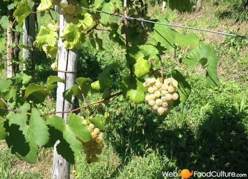 Prosecco wine: Prosecco grapes.