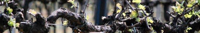 Prosecco wine: Prosecco vine (crt-02)