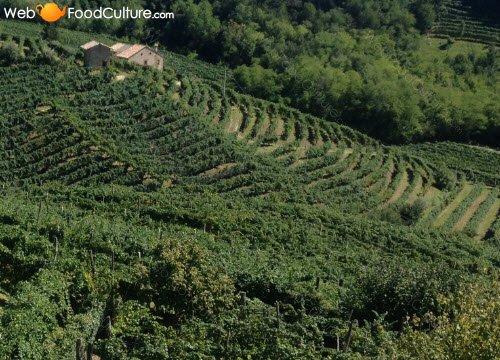Prosecco wine: 'Terraces' for Prosecco wine.