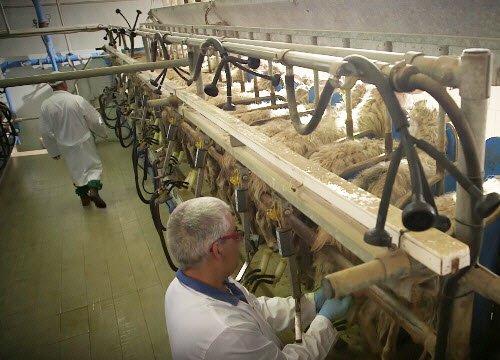 Pecorino Romano PDO: processing the milk (crt-01)