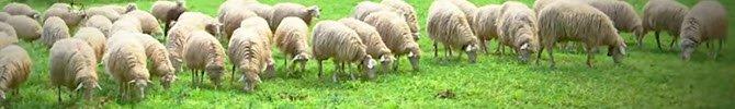Pecorino Romano: pasture (crt-01)