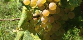 Pecorino grapes.
