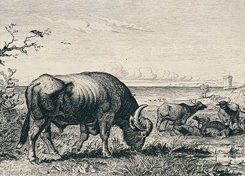 Buffalo Mozzarella: Old print of grazing buffalos (crt-01)