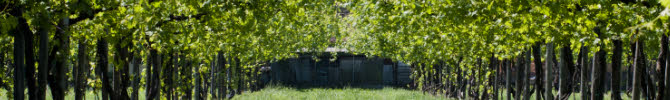 Lambrusco wine: the Lambrusco vines (crt-01)